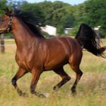 Karabakh-horses