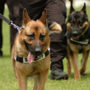 police_dogs_1_by_kashadog